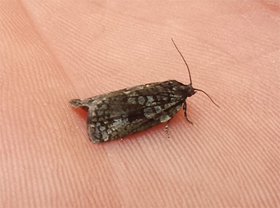 picture of adult spruce budworm moth