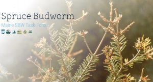 screencapture-sprucebudwormmaine