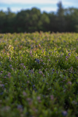 Photo of blueberry field